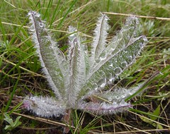 Rain Drops On Fuzzy Plant. Montana (montanatom1950) Tags: montana continentaldivide helenamontana