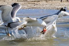 Yellow-legged Gull, Geelpootmeeuw, Larus cachinnans (jwsteffelaar) Tags: laruscachinnans yellowleggedgull geelpootmeeuw