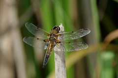IMGP9616 Four-spotted Chaser, Paxton Pits, June 2016 (bobchappell55) Tags: wild nature pits insect dragonfly wildlife reserve cambridgeshire paxton chaser fourspotted