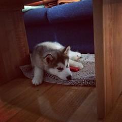 puppy (ameliabeare) Tags: dog puppy malamute alaskanmalamute