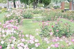 11845021_10153099673017076_8863158507477036100_o (jmac33208) Tags: park new york roses rose garden central schenectady