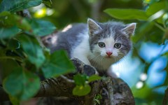 kittens (11) (Vlado Fereni) Tags: cats animals kitty croatia kittens catsdogs animalplanet hrvatska hrvatskozagorje nikkor8020028 zagorje nikond600