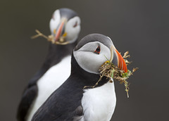 Puffins. (richard.mcmanus.) Tags: puffin atlanticpuffin skomerisland wales bird animal mcmanus britishwildlife gettyimages pembrokeshire marloes explore