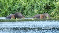 Borneo 2016 (marianddeboe) Tags: wildlife backpacking malaysia sabah kinabatangan rivercrossing rivercruise pygmyelephant