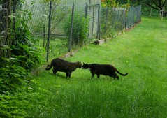 Jonas mit Freund (ute_hartmann) Tags: katze jonas kater freund spaziergang