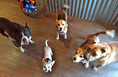 5-happy-pups (ddotcom12) Tags: hotdiggitydogandcat 5happypups 5dogs petstore kingsbeach bunny tinkie mike link george