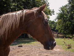 Jack (EX22218 - ON/OFF) Tags: horses tree leaves weather fence nose foot bucket gate shadows top tennessee branches hill straw dry pole whiskers walker fox sweat ten lichen feed hay mane henhouse sorrel saariysqualitypictures