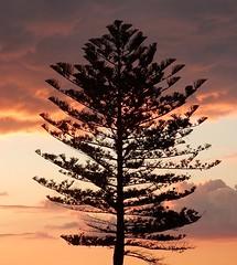 Norfolk Pine Silhouette (mikecogh) Tags: glenelg sunset tree silhouette norfolkpine
