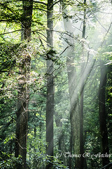 Light Rays in Forest (travelphotographer2003) Tags: light summer usa green ecology beauty woodland woods solitude fresh westvirginia serenity serene rays naturalbeauty majestic shining freshness lightrays appalachianmountains alleghenymountains monongahelanationalforest beautyinnature webstercounty williamsriverscenicbackway