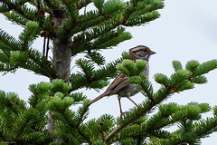 White-throated Sparrow, Ocean Pond (frank.king2014) Tags: whitethroatedsparrow