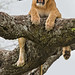 Lions in a Tree 11-45