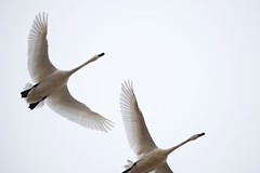 DSC_1334 (KevinYMa) Tags: bird nature tundraswan