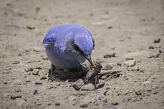 Bluebird versus Cicada, Grand Teton National Park (HDRob) Tags: bluebird cicada bird bug grandtetonnationalpark grandtetons