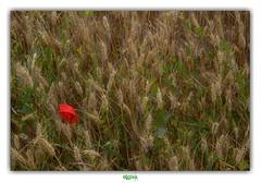 """I'M LIKE A SHIP IN THE SAND"" (rgisa) Tags: propersheppard sophia saintfolquin fleur flower poppy bl coquelicot corn champ field"