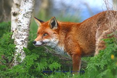 Curious........... (law_keven) Tags: fox redfox britishwildlifecentre lingfield london surrey wildlife england