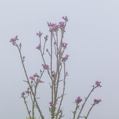 Thistle in the mist (Jon Ames) Tags: neukirchen austria sterreich tauern