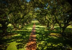 Light and shadows (Bob C Images) Tags: oaks trees plantation light shadows tones louisana oakalley sony