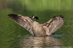 High park -  Canada Goose (digithief) Tags: canadagoose birds d750 nikon grenadierpond highpark ontario toronto canada ca