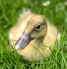Ludwig's Duckling (Earth Ways) Tags: irisholzerrichardson photographer copyrightowner fineart photography foodphotography lifestylephotography commercialphotography editorial quality professional reliable ludwigsduckling naturalpestcontrol naturalprediter duck yellowduck smallduck trainedduck duckling babyduck green yellow bird farming permaculturefarmanimal organicfarming