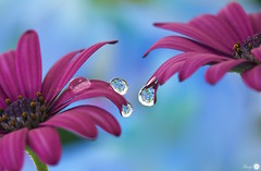 Luxuriance (Trayc99) Tags: flowers water droplets drops refraction reflections blue pink floralart flowerphotography floral beautyinnature beautyinmacro beautiful creative texture decorative depthoffield delicate