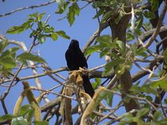 DSC06420 (familiapratta) Tags: sony dschx100v hx100v iso100 natureza pssaro pssaros aves nature bird birds montesio montesiomg brasil