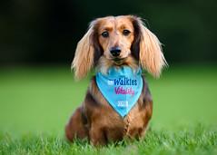 'Lola' at RSPCA BIG Walkies Norwich 2016 (Jonathan Casey) Tags: rspca big walkies dachshund d810 200mm f2 nikon vr