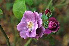 roselline (alesolofoto) Tags: fiori rose macon france francia borgogna