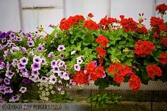 PLW_5552 (Laszlo Perger) Tags: wien vienna sterreich austria blumengarten hirschstetten flowergarden