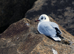 Black-headed Gull (2) (grahamh1651) Tags: newlyn tolcarne gulls divers waders