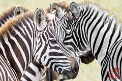 Always one has to be different (DragonSpeed) Tags: africa africanwildcatsexpeditions burchellszebra commonzebra equusquagga plainszebra safari serengetinationalpark seroneraregion tzday04 tanzania zebra mammal mara tz photoshop