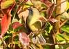orange-crowned warbler at Seed Saver's Exchange IA 854A5423 (lreis_naturalist) Tags: orangecrowned warbler seed savers exchange winneshiek county iowa larry reis
