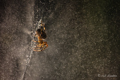 Space Spider (Rob Blanken) Tags: spider reflection flash nikond810 sigma180mm128apomacrodghsm