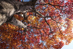 Look up ! (shig.) Tags: autumn autumnfoliage trees red tree fall yellow canon eos fallcolors autumnleaves autumncolours fallfoliage fallingleaves  fallentree fallenleaves 70d