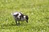 Paradise Shelduck_9796 (Janice McKenna | eyemac23 | photography) Tags: newzealand bird canon duck wildlife wellington karorisanctuary aotearoa 6d anatidae paradiseshelduck tadornavariegata putangitangi zealandiaecosanctuary