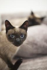 (anto291) Tags: nice siamese gatto gatti nizza barchats nicecatscaf