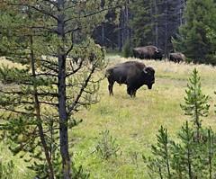 Yellowstone National Park (richardblack667) Tags: landscapes buffalo rocks wildlife parks falls rivers wyoming nationalparks bison