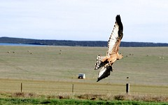 Spotted Harrier (Circus assimilis) clutching a Blue tongue lizard in its talons. (Lincoln Frank Allen) Tags: blue tongue circus lizard catching spotted caught birdofprey harrier attacking talons clutching timing southoz assimilis