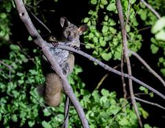 Thick-tailed Bush Baby (jaffles) Tags: holiday nature southafrica wildlife natur olympus safari np sdafrika kruger krger
