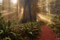 Rays of Sunshine (Oilfighter) Tags: rainforest path polarizer sunray redwoodforest 24105mmf4 delnortestatepark canon5dmarkiii