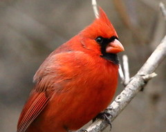 Northern Cardinal - male (RickykcWong) Tags: toronto ontario male bird nature canon eos cardinal wildlife tamron birdwatcher 70d rickykcwong
