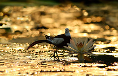 Pheasant-Tailed Jacana (Zahoor-Salmi) Tags: camera pakistan macro nature birds animals canon lens photo tv google flickr natural action wildlife watch bbc punjab wwf salmi walpapers chanals discovry beutty bhalwal zahoorsalmi