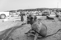 Dogs for sale, Friday animal market (Quade Hermann) Tags: urban dogs animals middleeast culture kuwait