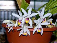 pleione maculata (Eerika Schulz) Tags: pleione maculata eerika schulz
