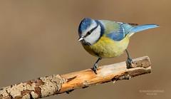 Cinciarella (franco 1961) Tags: bird birds uccelli avifauna uccello cyanistescaeruleus passeracei
