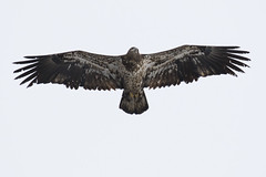 Immature Bald Eagle (Skeeter Photo) Tags: minnesota eagle wing bald mississippiriver soaring immature juvenile markings americanbaldeagle redwing underwing baypointpark skeeterphoto