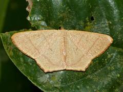 Geometrid Moth (Syngonorthus subpunctatus) (berniedup) Tags: moth sarawak malaysia borneo geometridae kuching permai santubong taxonomy:binomial=syngonorthussubpunctatus syngonorthussubpunctatus