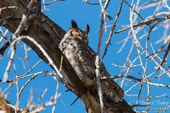 Great Horned Owls in Denver