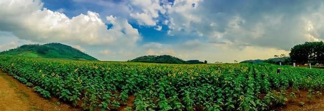 toàn cảnh cánh đồng hoa hướng dương