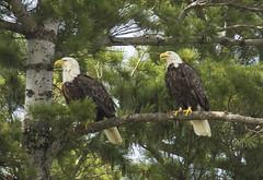 Higgins Lake bald eagles (wiltsepix) Tags: lake bald higgins eagles