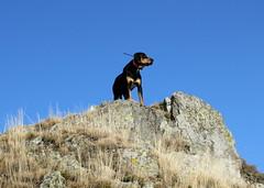 csúcson / on peak (debreczeniemoke) Tags: autumn dog mountain rock peak ridge kutya hegy gutin ősz frakk szikla csúcs transylvanianhound gerinc copoiardelenesc erdélyikopó canonpowershotsx20is transylvanianbloodhound gutinhegység munţiigutâi munţiigutin gutinmountains